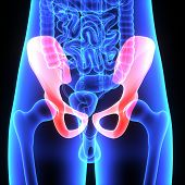 picture of pubis  - The hip bone is formed by three bones - JPG