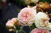 image of pass-time  - Pink rose Pastella - JPG