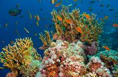 picture of fire coral  - Tropical Anthias fish with net fire corals on Red Sea reef underwater - JPG