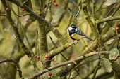 image of great tit  - The Great Tit is a regular visitor to gardens and woodland in the UK - JPG