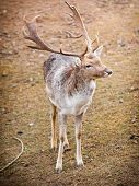 pic of male-domination  - Young male red deer stag in autumn fall forest. Animals in natural habitat beauty in nature. ** Note: Soft Focus at 100%, best at smaller sizes - JPG