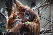 stock photo of leipzig  - Portrait of father and kid orangutans in the Leipzig Zoo  - JPG