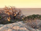 image of baobab  - evening scenery with baobab tree at Kubu Island in the Makgadikgadi Pan area of Botswana Africa - JPG