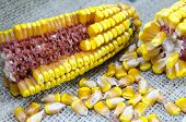pic of corn  - Corn cobs and corn maze on a rustic tablecloth - JPG