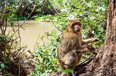 pic of macaque  - Barbary Macaque beside a river in Morocco - JPG