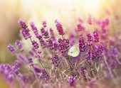 picture of lavender plant  - Beautiful nature  - JPG