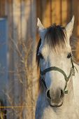stock photo of arabian horse  - white arabian horse portrait in sunny winter day - JPG