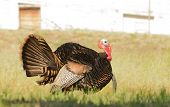 pic of gobbler  - Tom turkey strutting looking for a mate in the spring - JPG