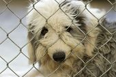 picture of sad dog  - Sad sheepdog dog looking sad and looking through fence with nose poking through - JPG