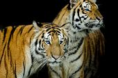 Постер, плакат: Black & White Of Two Tigers