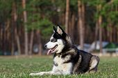 foto of siberian husky  - Siberian Husky lies on the grass in the field. Dog enjoys warm sunny day. Fresh green grass covered field after winter.