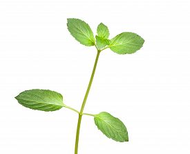 stock photo of peppermint  - Close up of fresh peppermint  - JPG