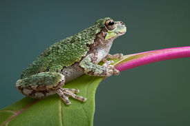 picture of pokeweed  - A baby grey tree frog is perched on a branch of pokeweed - JPG