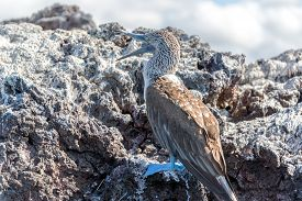 stock photo of boobies  - Blue Footed Booby in the Galapagos Islands with its mouth open  - JPG