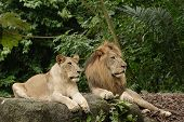 stock photo of african lion  - Male and female lions - JPG