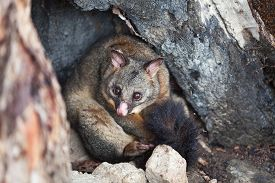 stock photo of possum  - Common Brushtail Possum  - JPG