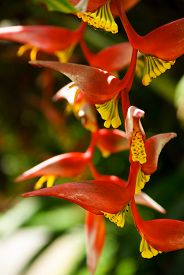 stock photo of heliconia  - Heliconia rostrata aka red crab claw flower - JPG