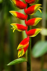 image of claw  - Heliconia rostrata aka red crab claw flower - JPG