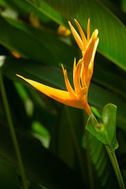 picture of heliconia  - Heliconia psittacorum also known as yellow tropical flower - JPG