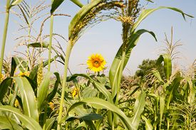 image of millet  - Millet is used as food fodder and for producing alcoholic beverages - JPG