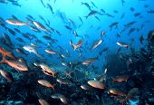 picture of creole  - school of pacific creole fish paranthias colonus a member of the anthia family on a galapapgos dive site.  - JPG