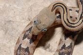 pic of googly-eyes  - A trans pecos ratsnake photographed directly above it - JPG