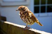 stock photo of brown thrush  - A friendly British thrush on a garden fence - JPG