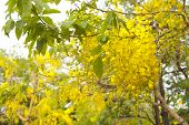 foto of vishu  - National tree of Thailand Golden Shower Tree Art Print - JPG