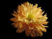 Yellow - Orange Petals Flower poster