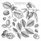 Vector Collection Of Hand Drawn Nuts Sketches. Vintage Illustrations Of Walnut, Hazelnut And Almond. poster