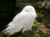 stock photo of hedwig  - a pretty white snow owl looking at the camera - JPG