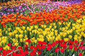 Tulip Flower. Flower In Garden At Sunny Summer Or Spring Day. Flower For Postcard Beauty Decoration  poster