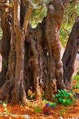 picture of gethsemane  -  The ancient tree split by a lightning - JPG