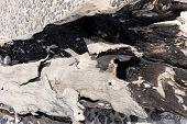 Burnt Wood Trunk. Burnt Black Bark As Background poster