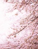 Cherry blossom in full bloom. Tranquil Yoshino cherry blossom in vertical format. Shallow depth of f poster