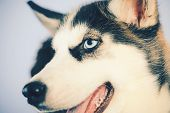 Life Is Short, Play With Your Dog. Husky With Blue Eyes And Wolf Like Look. Husky Dog. Cute Pet Dog. poster