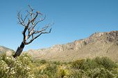 picture of stagecoach  - Tejas Canyon and dead tree - JPG