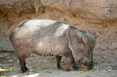 picture of javelina  - javelina - JPG