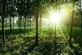 Beautiful Light Of Morning Sun In Thailand, Sun Light Shine Through The Tree In Morning, Beautiful F poster
