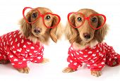 two Dachshund puppy dogs wearing red valentines day pajamas with white hearts. And heart shaped eye  poster
