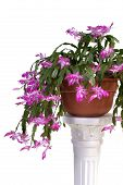 stock photo of schlumbergera  - christmas cactus  - JPG