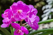 Orchid Flower. Vanda Orchid. Flower In Garden At Sunny Summer Or Spring Day. Flower For Postcard Bea poster