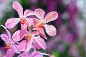 Orchid Flower. Mokara Orchid. Flower In Garden At Sunny Summer Or Spring Day. Flower For Postcard Be poster