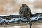 stock photo of split rail fence  - Dove sitting on split rail fence early morning during a light snow fall.