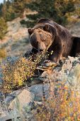 image of grub  - North American Grizzly Bear digging for grubs - JPG
