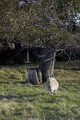 foto of pygmy goat  - A lone pygmy goat stands in the pasture near a tree - JPG