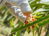 stock photo of woman dragon  - Woman harvesting a ripe dragon fruit from a cactus - JPG