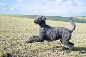 pic of standard poodle  - Pouncing Poodle against outdoor landscape of fields and blue sky - JPG