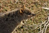 stock photo of quokka  - A very cute Quokka on Rottnest Island - JPG