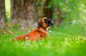 german boxer dog portrait with soap bubbles